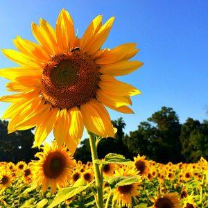 field of sunfowers