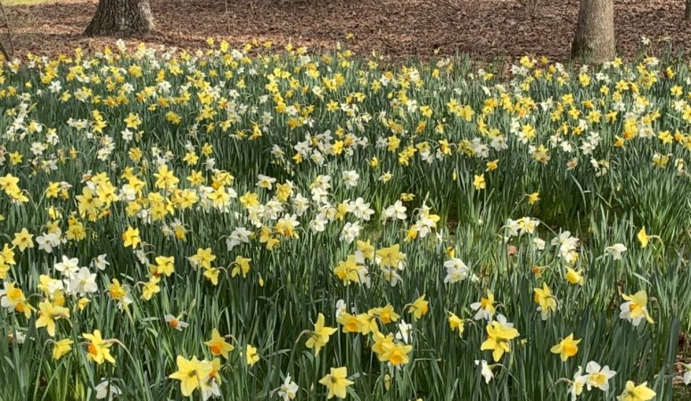It's Not Raining Rain To Me; It's Raining Daffodils