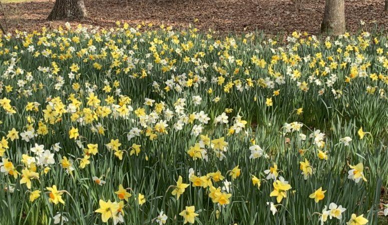 It's Not Raining Rain To Me; It's Raining Daffodils